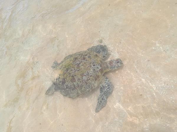 Hikkaduwa Broasca Testoasa (Turtle)